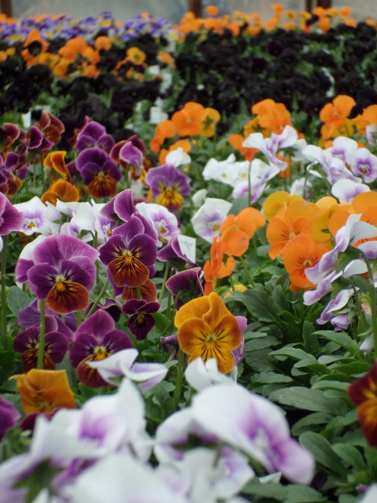 Viola, pretty in pink, orange and a purple so dark it looks black