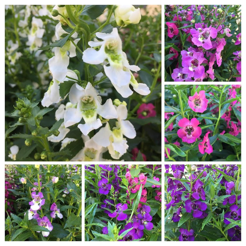 Angelonia - The Summer Snapdragon