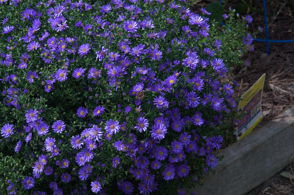 Pretty Purple Aster